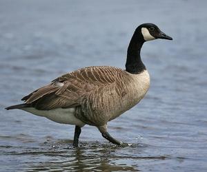 Goose Control Uk